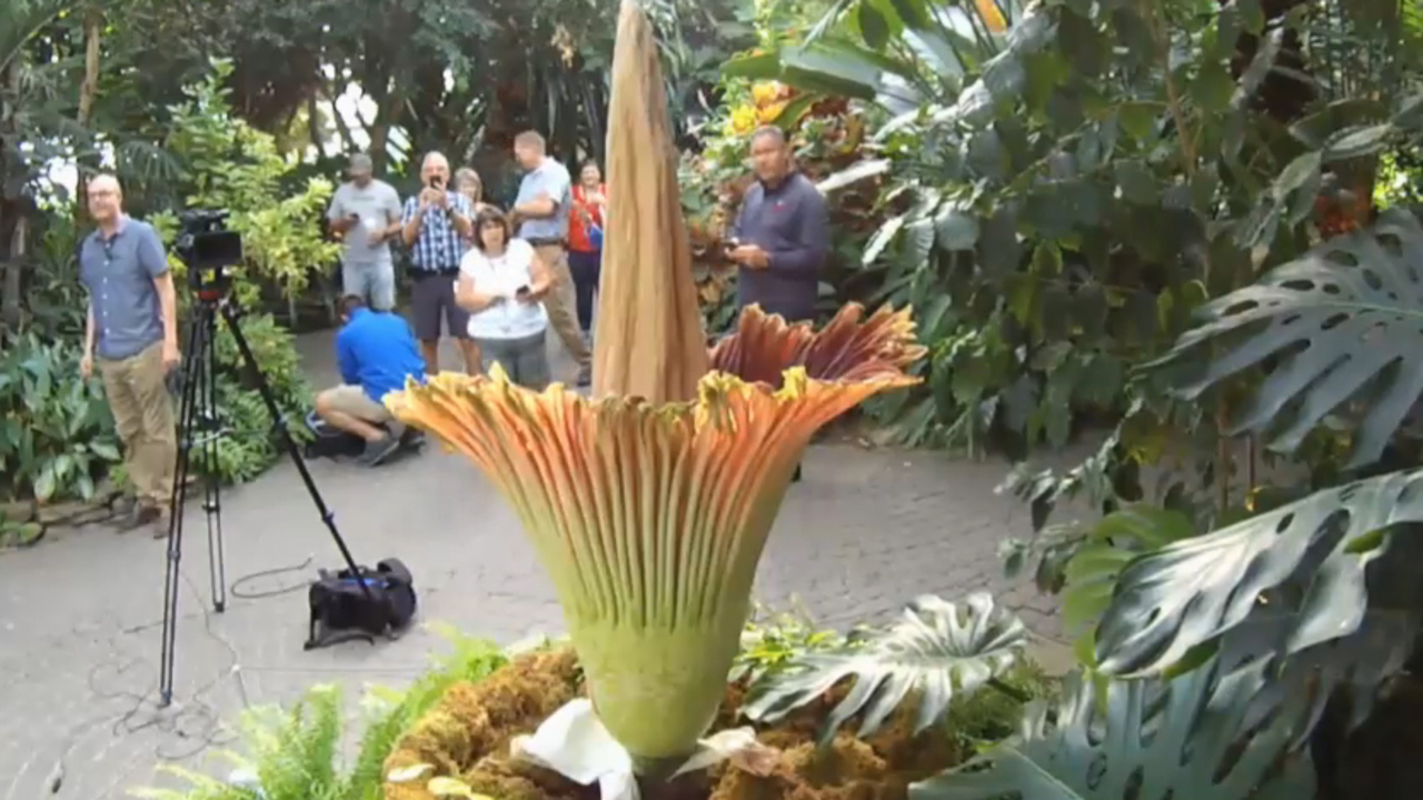 Corpse Flower Bloom 2019 Watch Live: Rare Corpse Flower Blooming At Michigan's