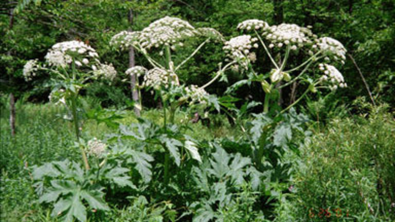 Giant Hog Weed Don't Touch: Giant Plant Causes Blindness, Third-degree Burns