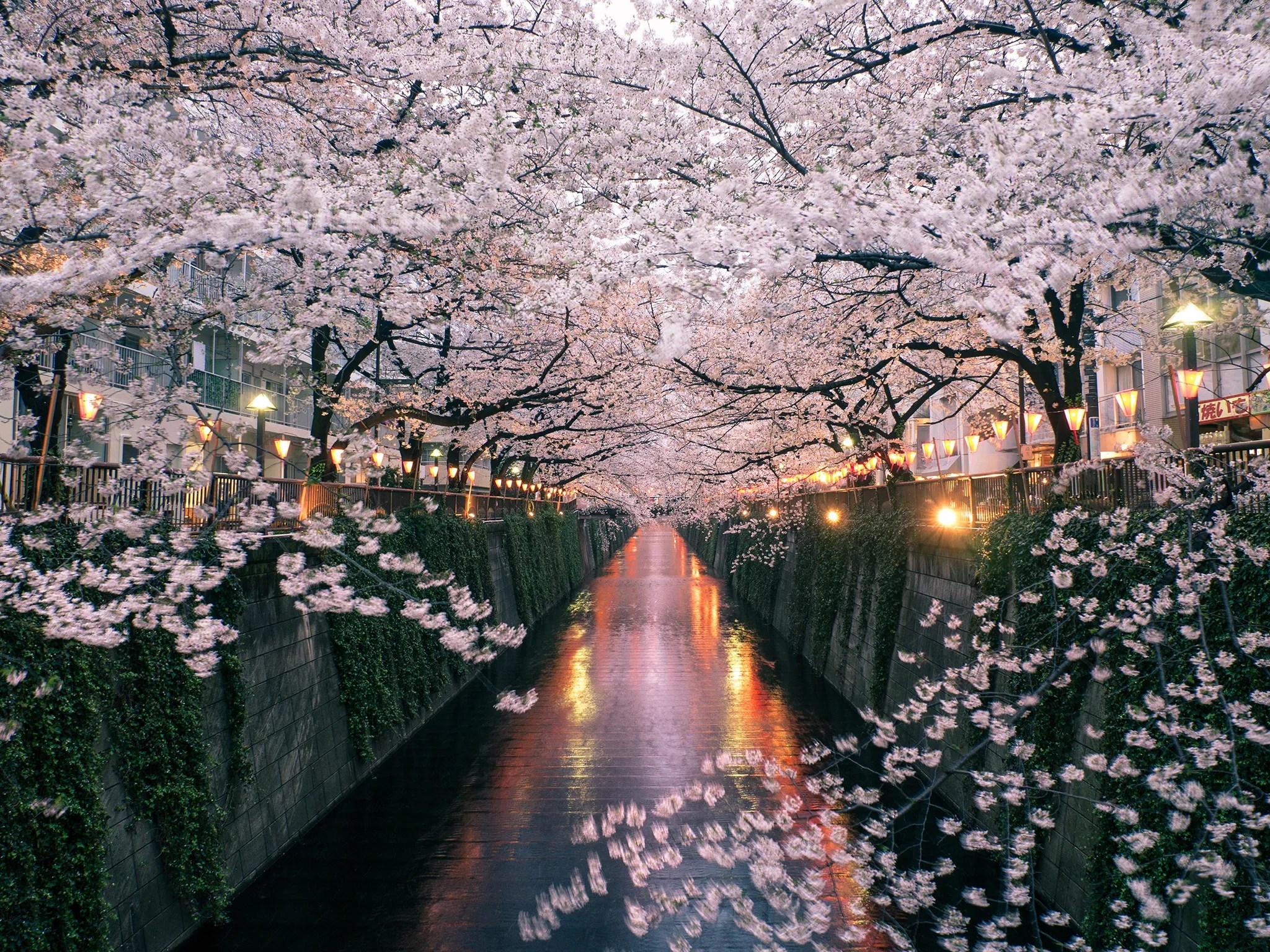 Cute Japanese Art 4k Wallpaper The Best Tokyo Neighborhood For Seeing Japan S Cherry