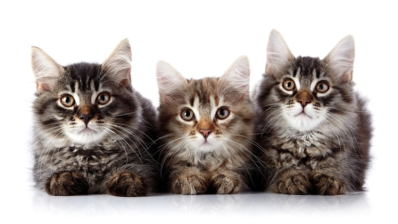 Three fluffy cats on a white background.