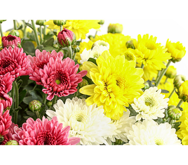 Chrysanthemen Trio Winterhart Garten-chrysantheme 'trio' | Dehner