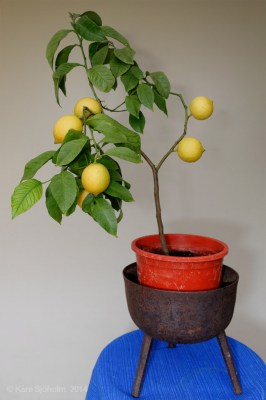 140207-citroner-002