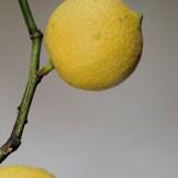 140207-citroner-005