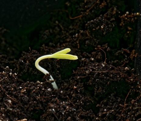 160222 Tomatplanta-1