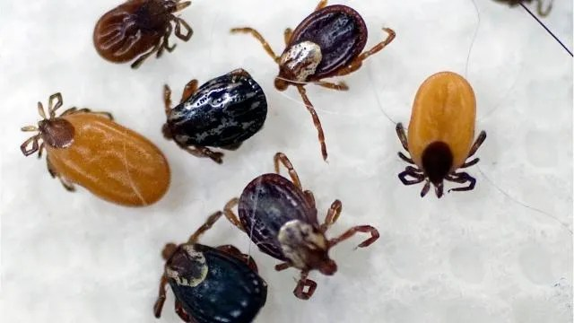Ticks present in Missouri can make you allergic to meat
