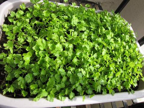 Growing Coriander - How To Grow Coriander - Step By Step With