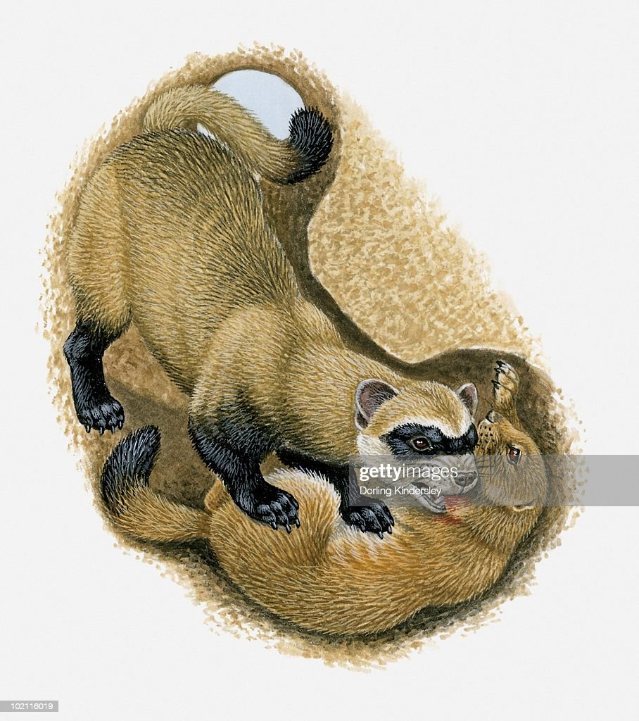 60 Clipart 60 Top Prairie Dog Stock Illustrations, Clip Art, Cartoons