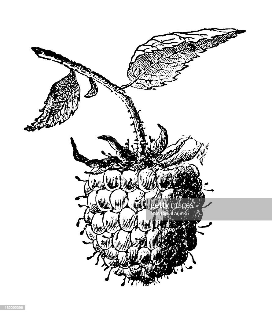 Ananas Rijp Test Raspberry Fruit Illustration Vintage Farmer Garden Clipart