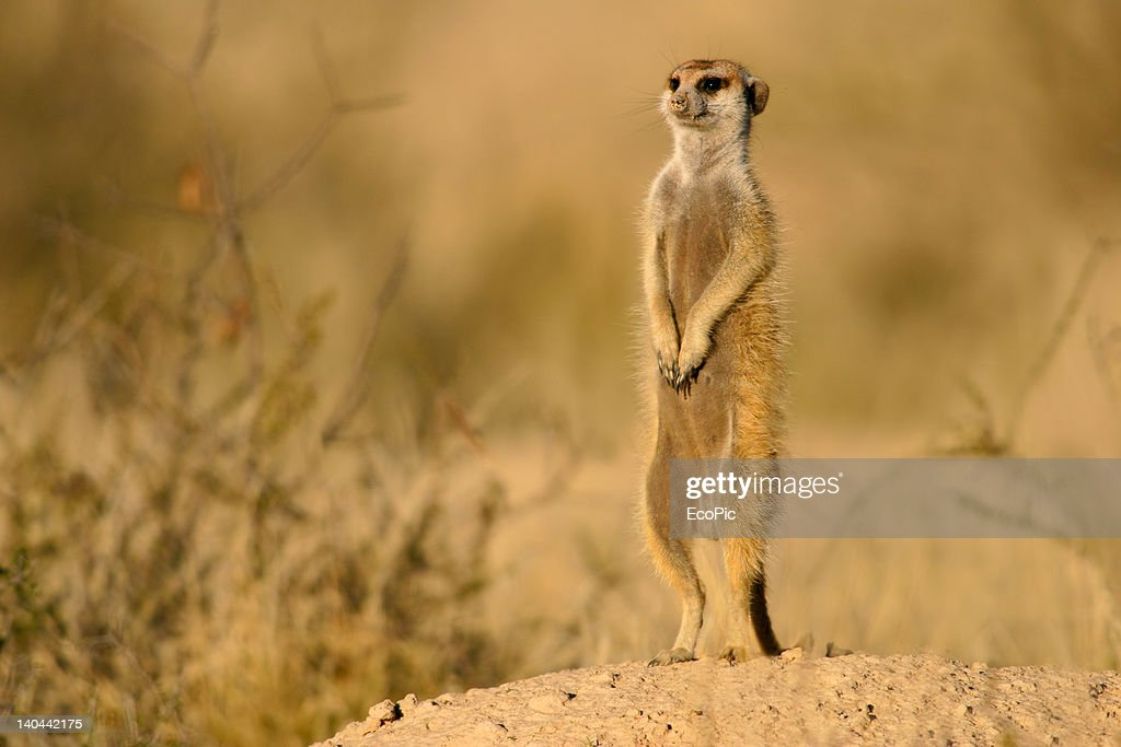 Wallpaper Border Falling Off Free Meerkat Images Pictures And Royalty Free Stock