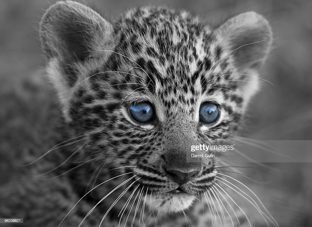 Leopard Animal Print Wallpaper Baby Leopard With Blue Eyes In Black And White Stock Photo