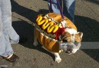 DOGS28-'Bosco' the English Bulldog models his hot dog ...