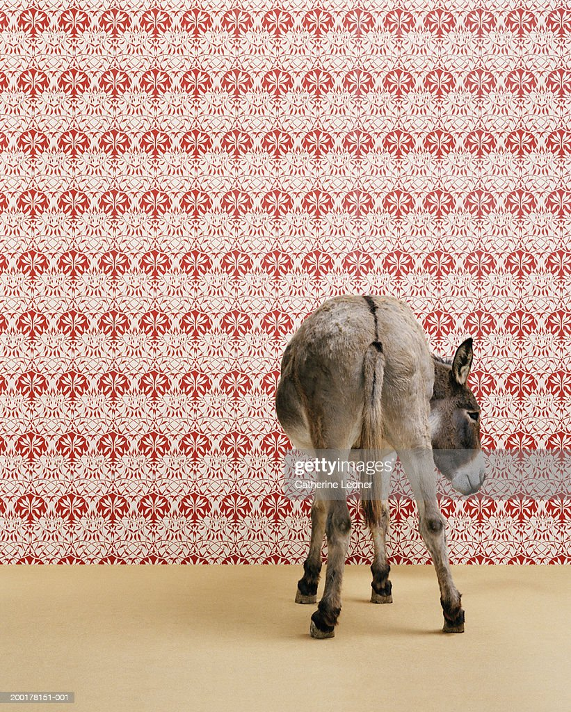 Donkey Wallpaper Donkey Standing In Studio Wallpaper In Background Stock Photo
