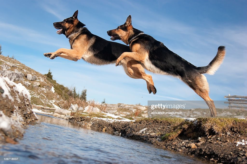Cute Husky Puppies With Blue Eyes Wallpaper German Shepherd Jumping Over Spring Stock Photo Getty Images