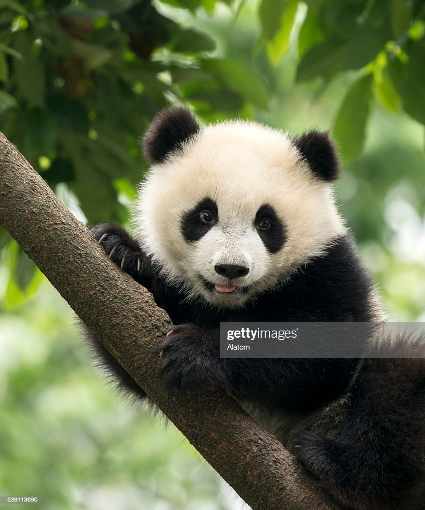 Pinterest Cute Wallpaper Panda Stock Photos And Pictures Getty Images