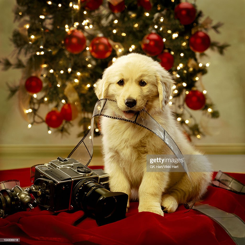 Cute Labrador Puppy Wallpaper Golden Retriever Puppy Christmas Portrait Stock Photo