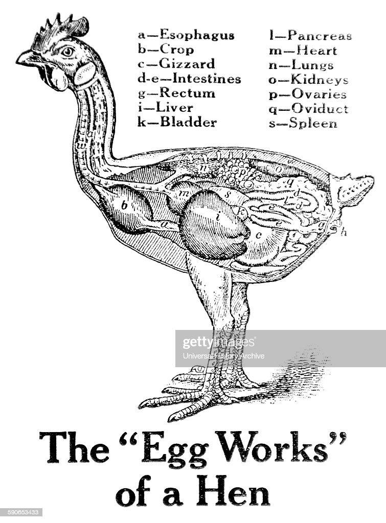 diagram of fetus adam