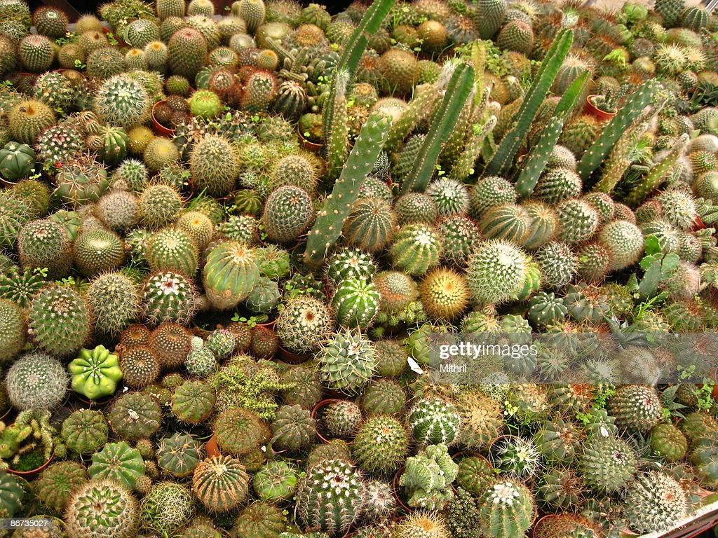 Cactus Pots For Sale Hundreds Of Pots Of Cactus Cacti For Sale Photo Getty Images