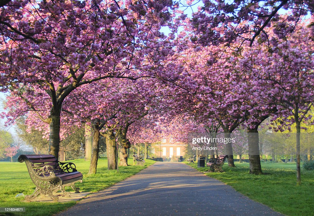 Wallpaper Sakura 3d Pink Blossom On Trees In Greenwich Park Stock Photo