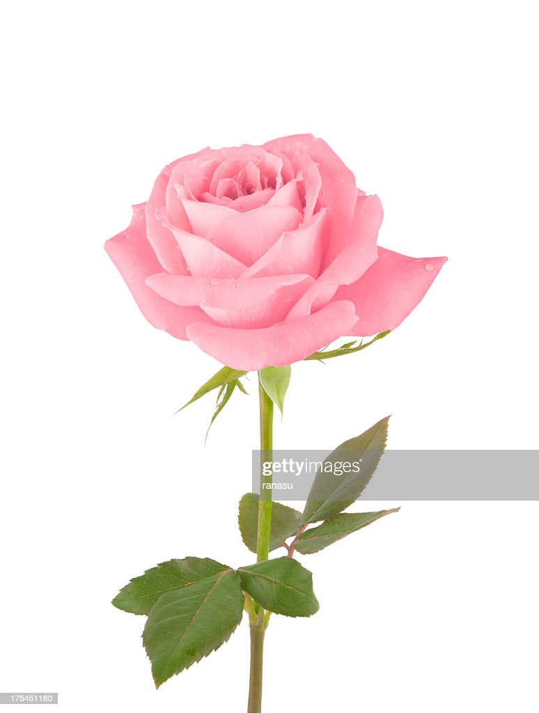Image De Rose 60 Top Pink Color Pictures Photos Images Getty Images