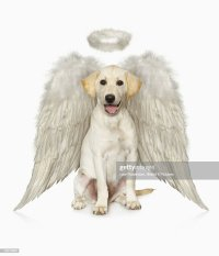 Dog With Angel Wings Stock Photos and Pictures   Getty Images