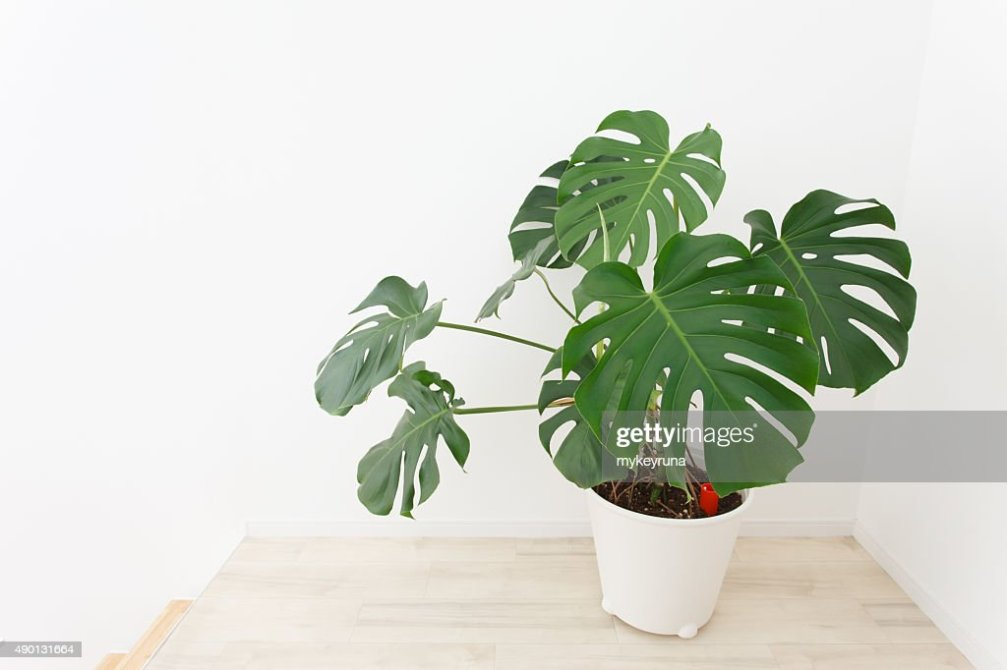 Potted Monstera Stock Photo Thinkstock - Monstera Luftwurzeln