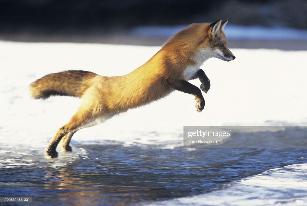 Red Animal Print Wallpaper Red Fox Jumping Across Creek Canada Stock Photo Getty Images