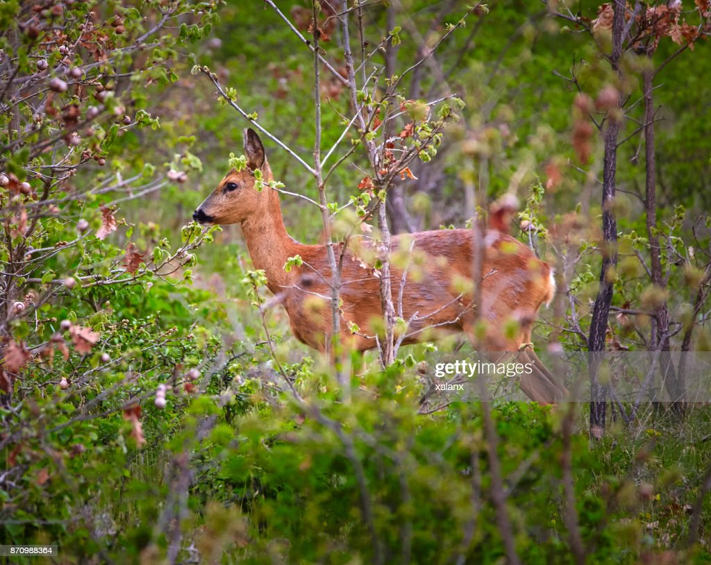 Rehe Bilder Rehe Auf Dem Ansitz Stock Foto Getty Images