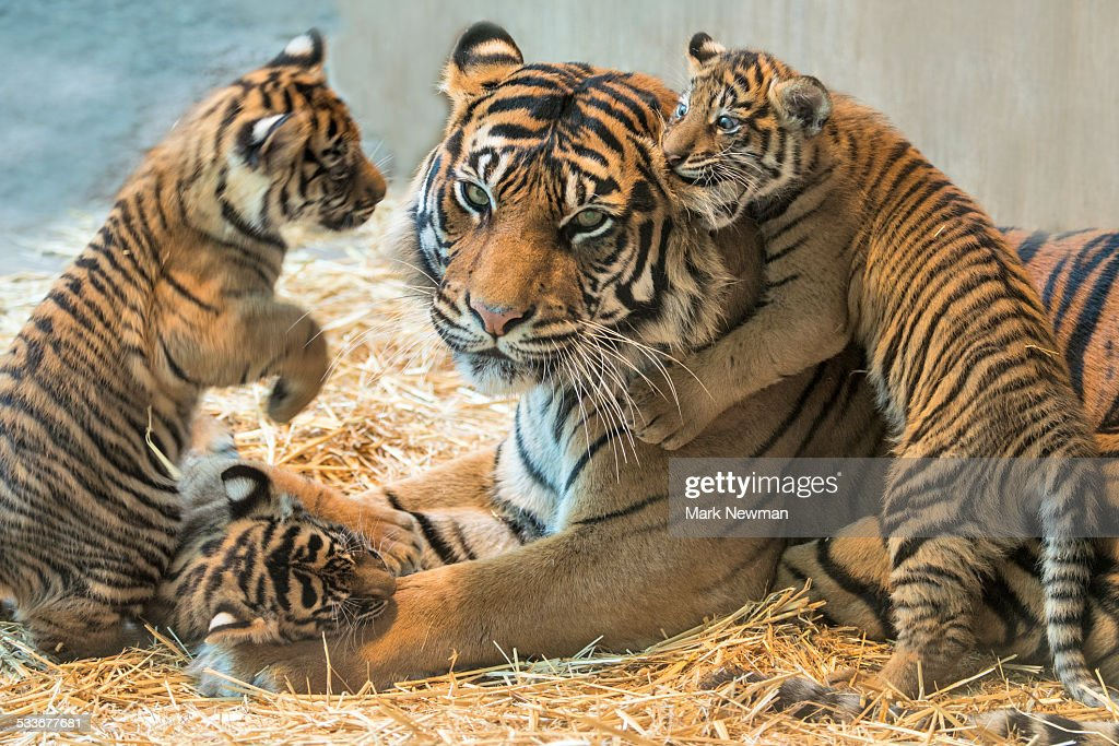 Cute Baby Puppy Pictures Wallpaper Tiger Cub Stock Photos And Pictures Getty Images