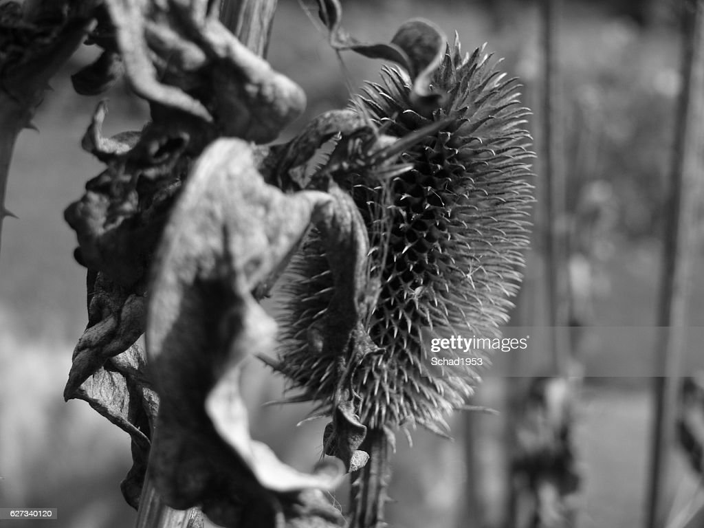 Https Www Gettyimages Ae Detail Photo Verbl C3 Bchte Distel 2 In Schwarz Wei C3 9f Royalty Free Image 627340120