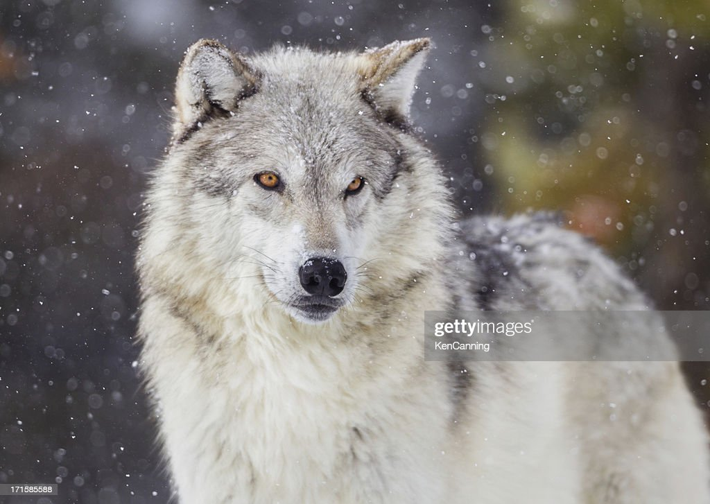 Winter Wallpaper Full Hd Wolf Stock Photos And Pictures Getty Images