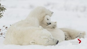 Vancouver photographer's 'Motherhood' polar bear pic on display in Smithsonian