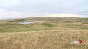 Canadian prairie grasslands shrinking faster than the Amazon rainforest