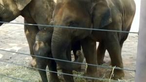 Zoo hold birthday bash for baby elephants