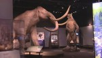 In the Mix: New mammoth at the BC Royal Museum
