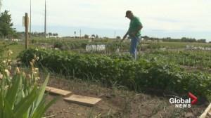 Lethbridge community gardens growing in popularity