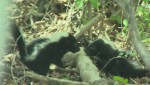 Five baby skunks have called a St. Boniface yard home