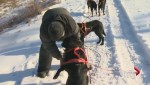 NB mushing business employs unconventional dogs