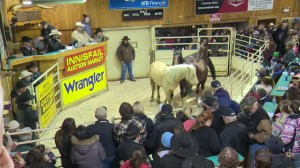 Wild Horses auctioned off to a home instead of the slaughterhouse