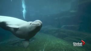 Two beluga whales die weeks apart at Vancouver Aquarium