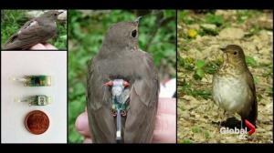 Secrets of bird migration revealed