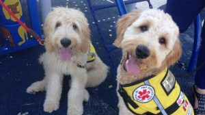 Foster parents for service dogs needed