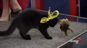 VOKRA's 'Walk for the Kitties' raises funds to support unwanted B.C. cats
