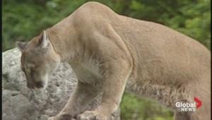 Cougar awareness in Kananaskis country