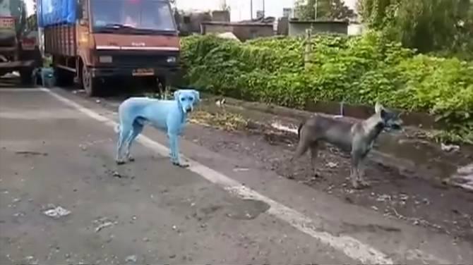 http://i0.wp.com/media.globalnews.ca/videostatic/126/183/bluedog.jpg?w=670&quality=70&strip=all