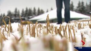 Second snowfall devastating for Alberta farmers