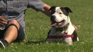 Pit bull ban not part of advisory group recommendations