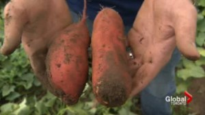 "The Making of a ""Canadian"" sweet potato"