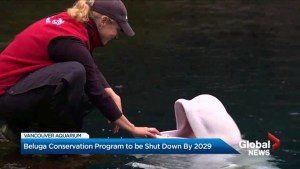 Beluga conservation program to end by 2029