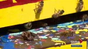Saskatoon buzzing over restaurant rooftop beehives