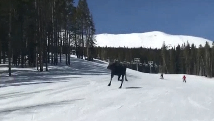 Moose runs along snowboarders at Breckenridge Ski Resort
